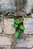 Träd som växer i en stenvägg för begreppstillväxt för bakgrund 3d den isolerade illustrationen framförde white Arkivfoton