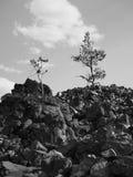 Träd som växer i obsidian Royaltyfri Fotografi