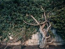 Träd som växer på den gamla betongväggen, filialer med gröna murgrönasidor på byggnadsyttersida, dekorativt arbeta i trädgården,  arkivbild