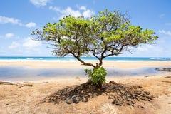 Träd som växer på den hawaianska stranden Royaltyfria Foton
