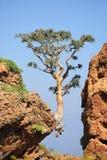 Träd som växer på kanten i Socotraön, Yemen arkivbilder