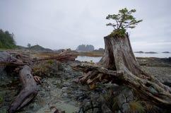 Träd som växer ut ur en stubbe på den steniga kusten av en ö Arkivfoton
