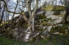 Träd som växer ut ur stenen Arkivbilder