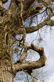 Träd som vrids, filial, förgrena sig som är gammal, högt, bakgrund, himmel fotografering för bildbyråer