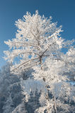 Träd under tung snö royaltyfri foto