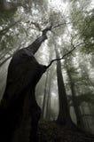 Träd upp i en mörk skog med dimma Royaltyfri Bild