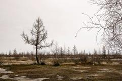 Träd utan sidor i tidig vår marsch Royaltyfri Foto