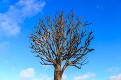Träd utan sidor i vinter Arkivfoton