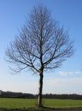 Träd utan sidor i vinterNederländerna Fotografering för Bildbyråer