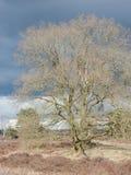 Träd utan sidor på heden Royaltyfri Bild