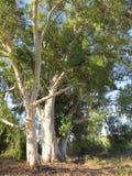 Träd utan skäll Royaltyfria Foton