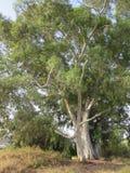 Träd utan skäll Arkivbilder