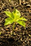 Träd växer naturligt i jord _ Royaltyfri Fotografi