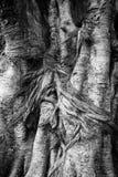 Trädblack&whitetextur Royaltyfri Fotografi