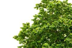 Trädblad på vit bakgrund Fotografering för Bildbyråer