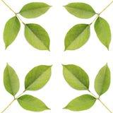 Trädblad som isoleras på vit på vit bakgrund Royaltyfri Bild