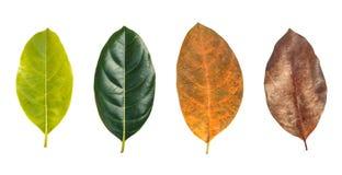Trädblad som isoleras på vit på vit bakgrund Arkivfoton