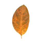 Trädblad som isoleras på vit på vit bakgrund Arkivfoto