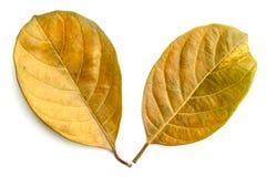 Trädblad som isoleras på vit på vit bakgrund Royaltyfri Fotografi