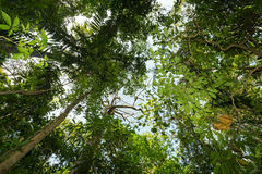 Trädblast i regnet mest forrest norr sulawesi, indonesia Royaltyfri Bild