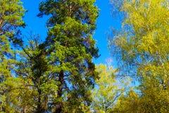 Trädblast med färgrika sidor under blå himmel i ryss reserverar skogen i höst Arkivfoton