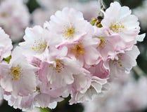 Trädblomma Royaltyfri Fotografi