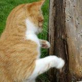 Trädboxningkatt Arkivfoton