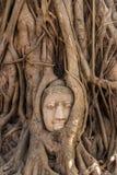 TrädBuddha i Ayutthaya Royaltyfria Foton