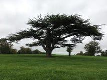 Trädcederträ av Libanon royaltyfria foton