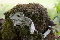 Trädclimaciummossa royaltyfri fotografi