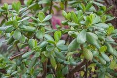 Trädcrassulaen lämnar tätt upp Royaltyfri Fotografi