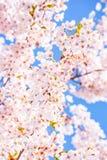 Träddetalj för körsbärsröd blomning, rosa färger och blåttbakgrund Royaltyfri Foto