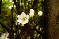 Träden av vita blommor Fotografering för Bildbyråer