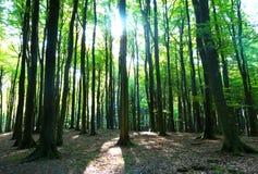 Träden i en skog och i solsken Arkivbilder
