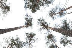 Träden i pinjeskogen mot den blåa himlen Arkivfoton