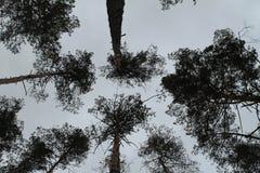 Träden i pinjeskogen mot den blåa himlen Royaltyfria Foton