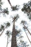 Träden i pinjeskogen mot den blåa himlen Arkivfoto