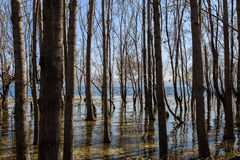 Träden i vatten Royaltyfria Bilder