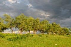 Träden ska just att slå den slågna stormen Royaltyfri Bild