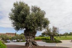 Trädet av evighet: Det olivgrönt, bekant vid den botaniska namnOleaeuropaeaen arkivfoton
