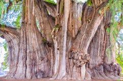 Trädet av Tule, Santa Maria del Tule, Oaxaca, Mexico 19th Maj 2015 Arkivfoto
