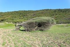 Trädet böjde vid de nordliga vindarna i kustlinjen av den Skiathos ön i Grekland Royaltyfri Bild