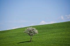 Trädet blommar i Rolling Hills av Tuscany Arkivbilder
