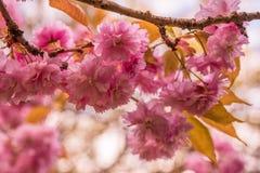 Trädet blomstrar i våren, slut upp av rosa blommor Royaltyfri Foto