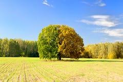 Trädet fångade på olika tider av året Arkivbild