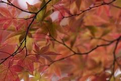 Trädet för Japan Nikko Rinnoji tempellönn i nedgång färgar närbild Royaltyfri Fotografi