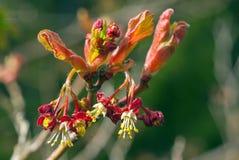 Trädet för japansk lönn blommar i vår Royaltyfri Fotografi