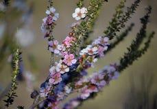 Trädet för persikablomningte blommar, den Leptospermum squarrosumen royaltyfria bilder