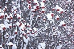 Trädet för rönnbär som täckas med snö och rimfrost Arkivfoto
