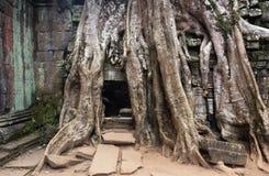 Trädet för Ta Prohm rotar Arkivfoton